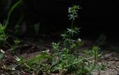꽃갈퀴덩굴